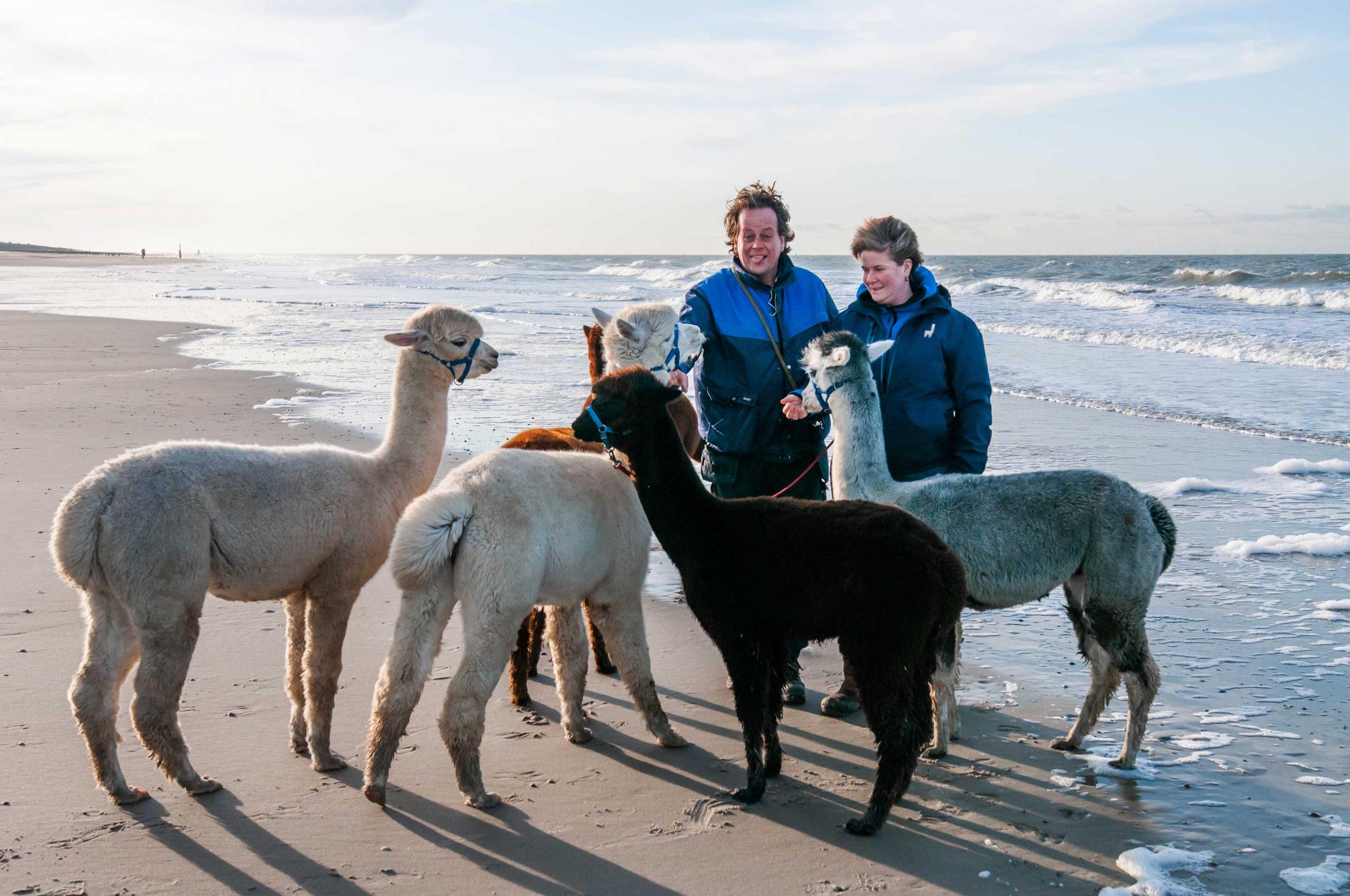 alpaca wandeling zeeland
