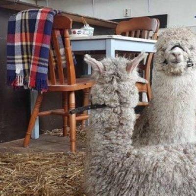 alpaca-high-tea-alpacas-zeelandia-3-450x338